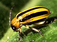 photo of cucumber beetle